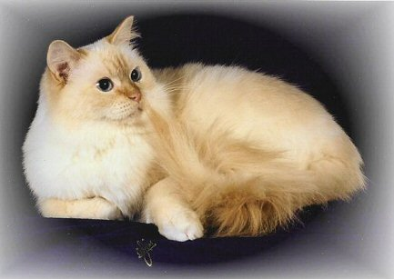 Red Point Mitted Ragdoll Cat