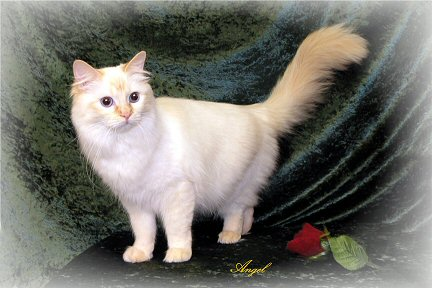 Red Point Ragdoll Cat
