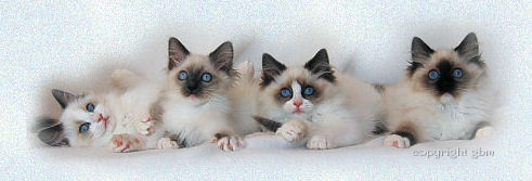 Ragdoll kittens: blue bicolor, blue mitted, seal bicolor and seal mitted